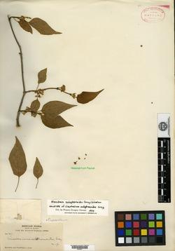Marsdenia astephanoides image