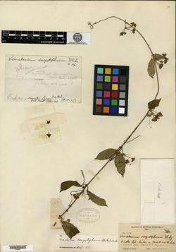 Image of Gonolobus dasystephanus