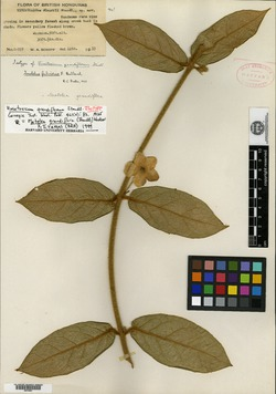 Image of Vincetoxicum grandiflorum