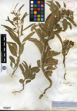 Image of Asclepias wrightii
