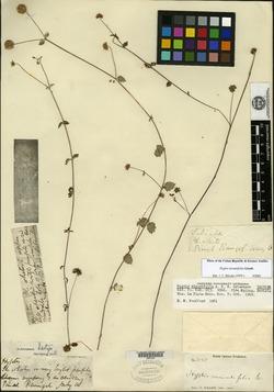 Image of Hyptis minutifolia