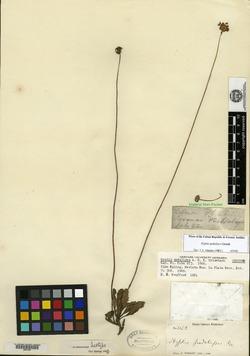 Image of Cyanocephalus pedalipes