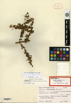 Image of Clinopodium schusteri