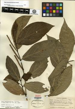 Image of Piper aeruginosibaccum
