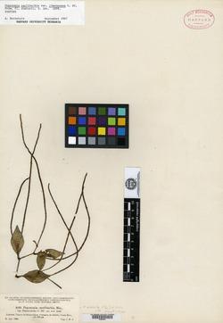 Peperomia glabella image