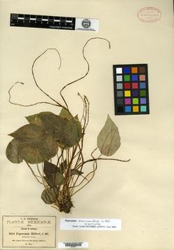 Peperomia macrandra image