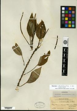 Peperomia ciliolibractea image
