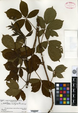 Image of Rubus ambigens