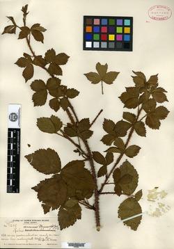 Image of Rubus arcuans