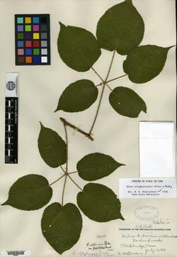 Rubus allegheniensis var. populifolius image