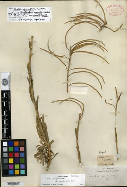 Image of Streptanthus arcuatus