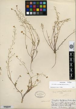 Image of Sandbergia perplexa