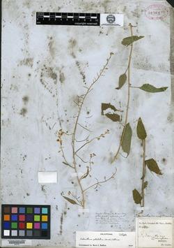 Image of Chaunanthus petiolatus