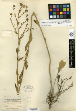 Image of Thelypodium crenatum