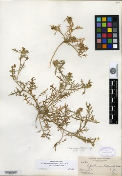 Image of Lepidium palmeri