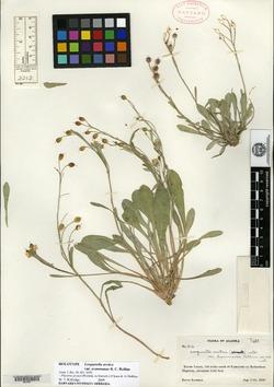 Image of Physaria arctica