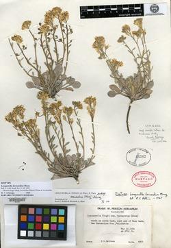 Image of Lesquerella bernardina