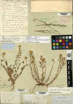 Image of Vesicaria lescurii