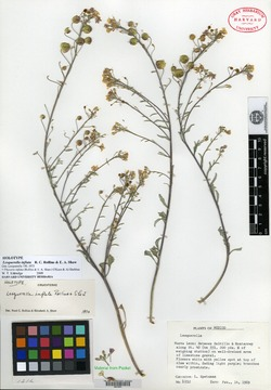 Image of Physaria inflata