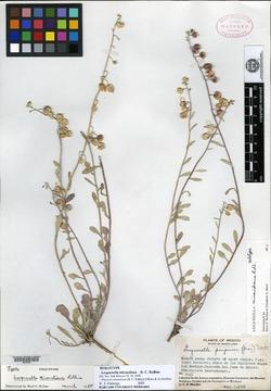 Image of Lesquerella mirandiana