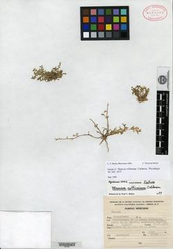 Image of Mancoa rollinsiana