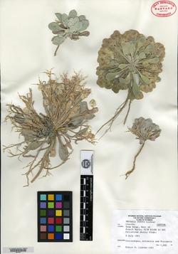 Image of Physaria dornii
