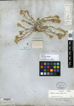 Image of Physaria geyeri