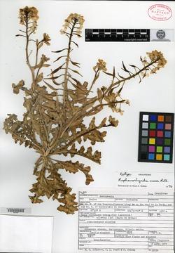 Image of Raphanorhyncha crassa