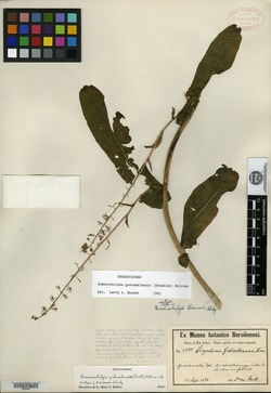 Image of Romanschulzia guatemalensis