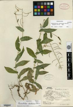 Image of Romanschulzia schistacea