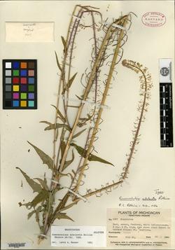 Image of Romanschulzia subclavata