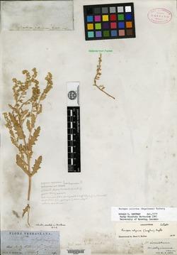 Image of Nasturtium calycinum