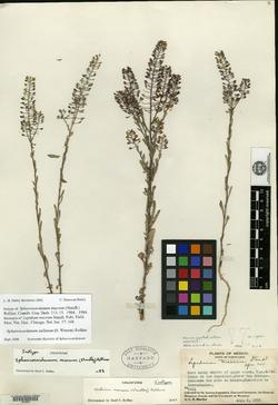 Sphaerocardamum stellatum image