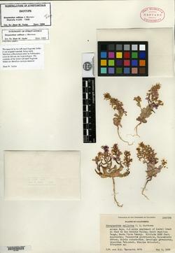 Image of Streptanthus callistus