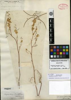 Image of Streptanthus diversifolius