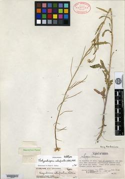 Image of Thelypodiopsis retrofracta