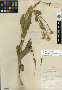 Image of Sisymbrium wootonii