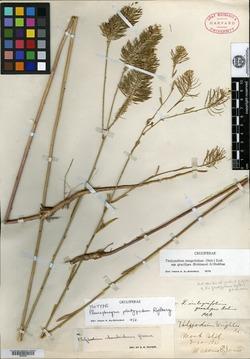 Image of Pleurophragma platypodum
