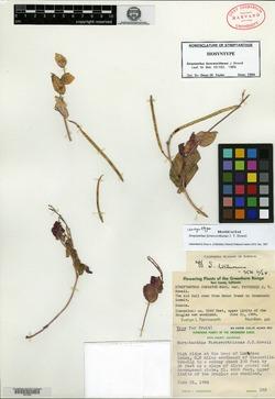 Image of Streptanthus farnsworthianus
