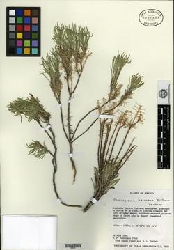 Image of Nerisyrenia baconiana