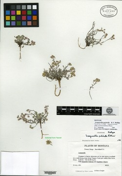 Image of Lesquerella pulchella