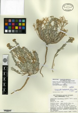 Image of Lesquerella tuplashensis