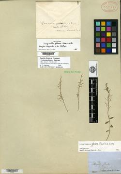 Image of Vesicaria globosa