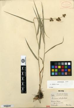 Fuirena ciliata image
