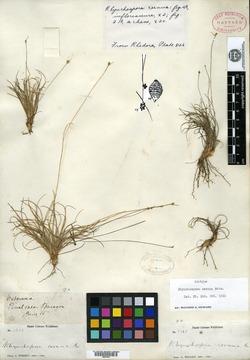 Image of Rhynchospora cernua