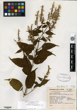 Image of Salvia filipes