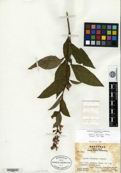 Image of Salvia kellermanii