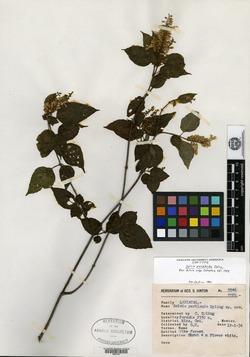 Image of Salvia perblanda