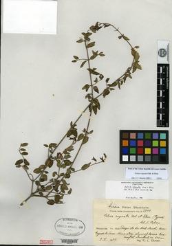 Image of Salvia cognata
