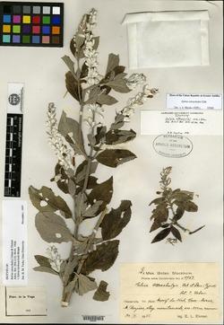 Image of Salvia lachnaioclada